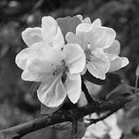 Black and white photograph of a flower